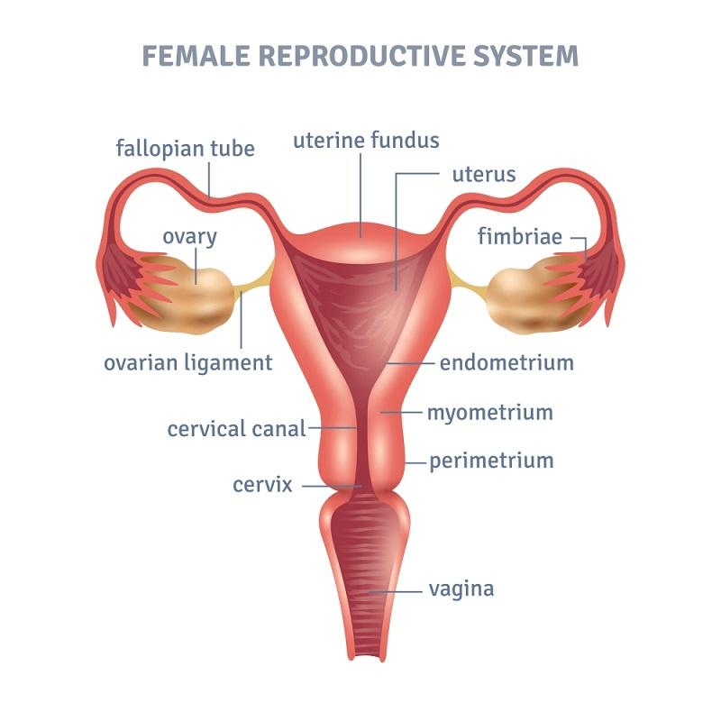 女性生殖系统结构图