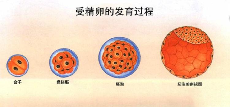生化妊娠可以让不好的受精卵提前结束发育