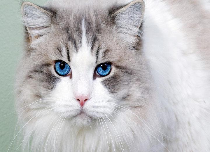 怀孕梦见猫可能是生儿子