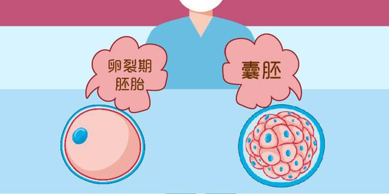 养囊是将卵裂期的胚胎发育成囊胚的过程