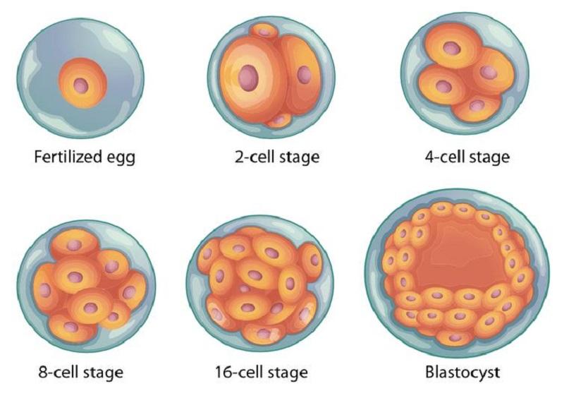 囊胚质量等级分类