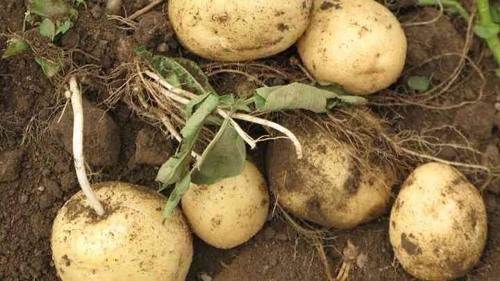 发芽的土豆有毒