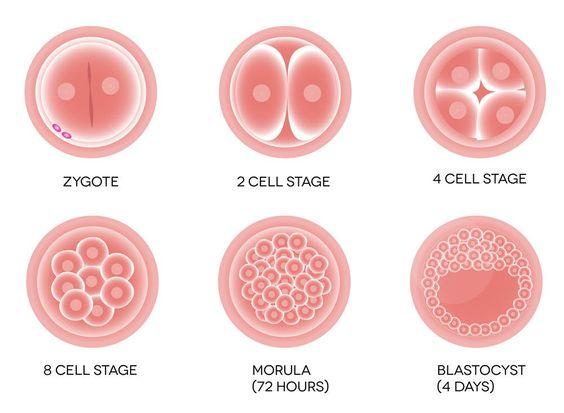 胚胎移植是在胚胎培育室将受精卵培养3~6天后移植